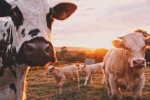 Kuh dankbarkeit für ihre milch